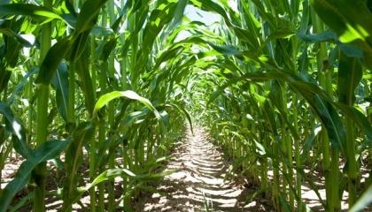 На незащищенных технологически и гербицидно посевах кукурузы сорняки способны «оттягивать» на формирование собственной биомассы около 3200 м3/га воды