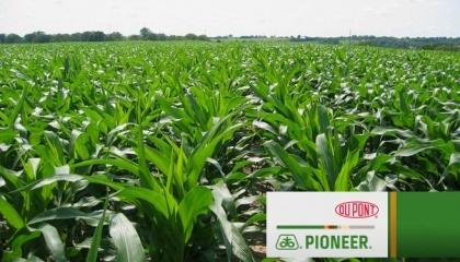 В этом году фермеры гораздо больше интересуются кукурузой. Причем многие понимают, что если вкладываться в эту культуру, то нужно сразу делать ставку на наиболее профессиональную генетику