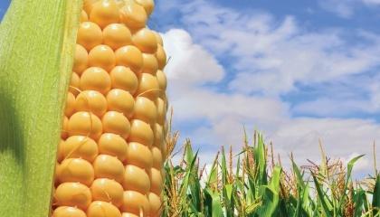 Гібриди повинні мати високу адаптивність до різних умов - це один з принципів Бурлоуга, агронома, Нобелевського лауреата, який став батьком Зеленої революції