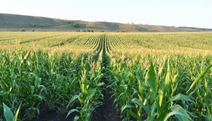 """Кукурудза в Україні """"вгамувала свої апетити"""" і обрала тактику повільного зростання. Площі під кукурудзою в Україні до 2026 року збільшаться всього лише до 4 млн 667 тис. га"""