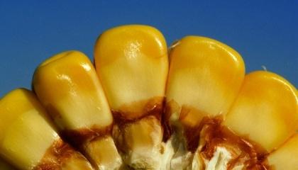 Таблица признаков С.-К. ДиФонзо помогает разобраться в запутанном клубке признаков Bt-кукурузы продаваемой различными компаниями