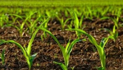 Залежно від типу качана кукурудзи, який формує гібрид, визначають критичну густоту стояння рослин на гектар і необхідність пересіву