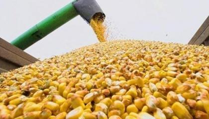 Експорт кукурудзи з України в 2016/17 сезоні виросте до 19 млн т, що на 14,3% більше, ніж рік тому