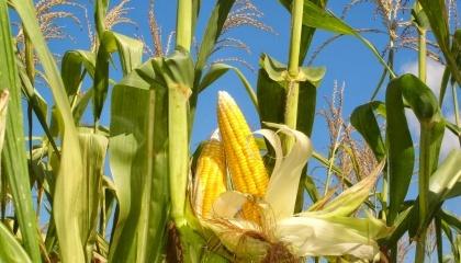 Кукуруза не очень конкурентоспособная культура, потому что на ранних стадиях развития корни малы, а растение должно конкурировать за ресурсы