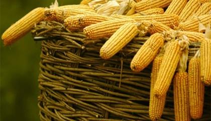 Потреба ЄС в українській кукурудзі підтверджується наміром розширити безмитні квоти на її поставку на 625 тис. т