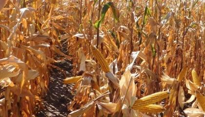 Поточна врожайність кукурудзи нижче торішньої на 16-18%, хоча демонструє тенденцію до зростання