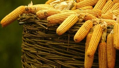 У новому каталозі компанії представлена широка лінійка гібридів кукурудзи з ФАО від 200 до 400, призначених для різних напрямків використання