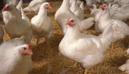 Госпродпотребслужба расширила перечень регионов этих стран, из которых запрещено импортировать в Украину мясо птицы