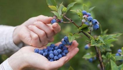 Почти 90% урожая голубики Украина экспортирует из-за низкой покупательной способности, внутренний рынок не является приоритетным для украинских производителей