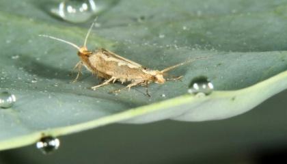 Корнелльский университет планирует выпустить генетически модифицированную моль в штате Нью-Йорк, хотя насекомые вредят брокколи и капусту, которую должны защищать
