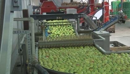 """На підприємстві встановлено спеціальну лінію """"Сортер"""", яка може відсортовувати яблука на 11 гатунків"""