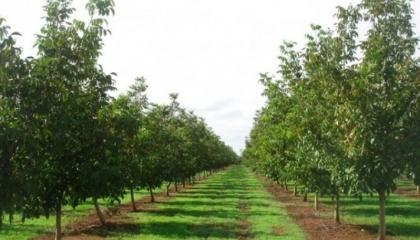 У 2016 році працівники господарства «БІО-ТРІО» вже висадили першу тисячу дерев. Планується, що загальна запланована площа посадки займе 50 га
