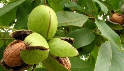 Недоступность средств на закладку ореховых садов и недостаток качественных саженцев - две самые большие проблемы этого сектора АПК
