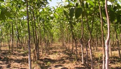 Практично у всіх регіонах України в горіховодів спостерігаються проблеми з приживлюваністю, джерелом поливу і вологою в грунті