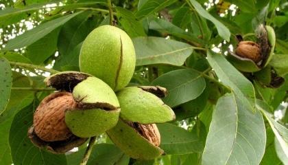 Найбільшою проблемою сектору самі ж виробники називають дорожнечу якісних саджанців горіха (залежно від країни походження $10-20 за саджанець), відносно довгий період віддачі інвестицій