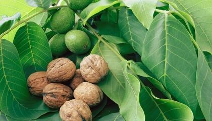 Велика частина волоських горіхів в Україні виробляється дрібними фермерами, які далекі від сучасних сільськогосподарських технологій - вони не використовують добрива або механізовані способи збирання врожаю, не інвестують гроші в культивацію садів