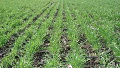 Озимые зерновые в Украине взошли на 99% площадей. Общее состояние посевов озимых зерновых культур является хорошим и удовлетворительным