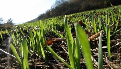 В Україні в цьому році зафіксовано історичний мінімум загибелі озимих культур під урожай-2017. Станом на початок квітня площа загиблих озимих на зерно склала всього 5,6 тис. га або менше 0,1% від посівних площ