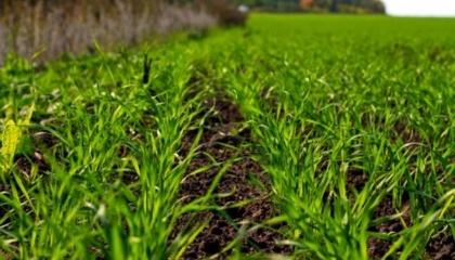 Специалисты предупреждают аграриев о распространении вредителей и болезней в озимых зерновых и рапсе