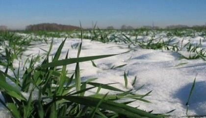Опасения вызывало то, что достаточный снежный покров на полях появился только с 8 января, после того, как установились сильные морозы