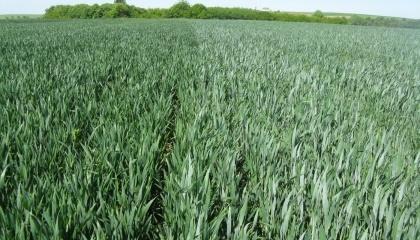 Озимая пшеница имеет все шансы не только удержать свои позиции в растениеводческой отрасли Украины, но и укрепить их