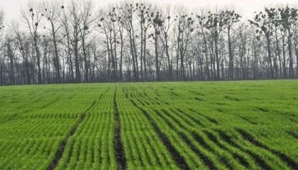 У степових, лісостепових, осередково поліських областях у посівах озимих зернових колосових культур триває розвиток та живлення личинок хлібної жужелиці (туруна) та гусениць озимої совки
