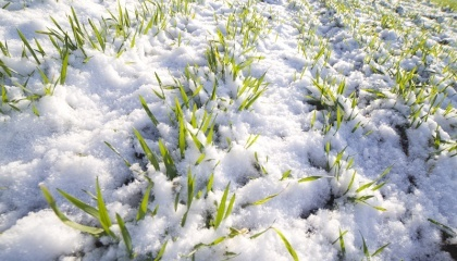 По состоянию на 11 января озимые зерновые взошли на площади 663,1 тыс. га, что составляет 99,6% от посеянного