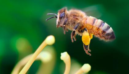 Канадські, британські та німецькі вчені в першому масштабному загальноєвропейському дослідженні підтвердили, що неонікотиноїди негативно впливають на популяції бджіл