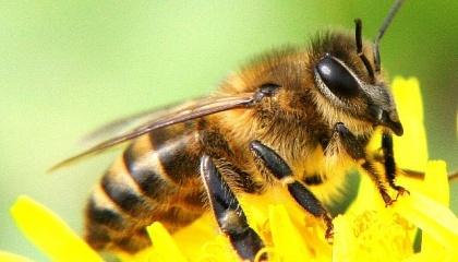 Кількість керованих колоній бджіл у всьому світі не зменшується, як часто повідомляється, а постійно зростає - за останні 50 років на 45% у всьому світі