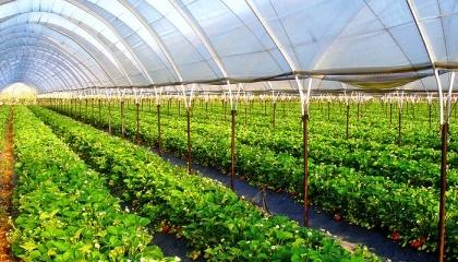 В Европе все весенние посадки на 100% защищены, поскольку фермеры обязательно укрывают их пленкой. В Украине урожай в основном выращивают на открытом грунт