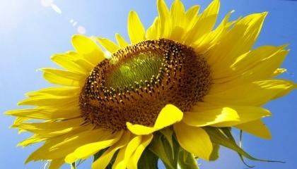 За прогнозами учасників ринку високоолеънового соняшнику і соняшникової олії, вже в цьому році очікується зростання премій на дану агропродукцію