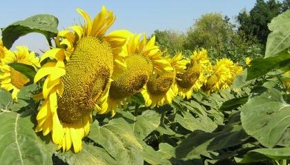 Зовсім скоро Syngenta зможе запропонувати ринку перший гібрид соняшнику 100% української селекції