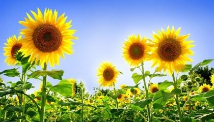 Корпорація «Сварог Вест Груп» наступного року планує виділити 90% площ, відведених під соняшник загалом, під вирощування високоолеїнового соняшника