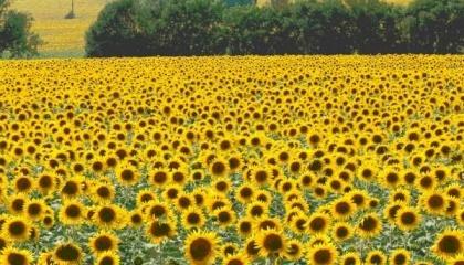 Без експортного мита в Україні було б значно менше посівів соняшнику