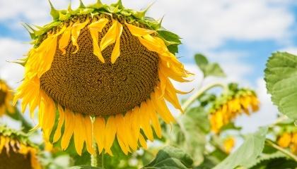 Багато виробників не дотримуються рекомендації по вирощуванню соняшнику: в сівозміні він повинен бути присутнім в межах 16-18%, у нас же вистачає господарств, які насичують сівозміну соняшником до 30%, а іноді і до 60%