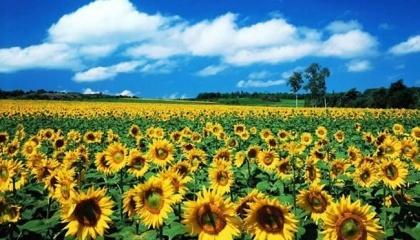 Соняшник - культура високодохідна, але це на перший погляд