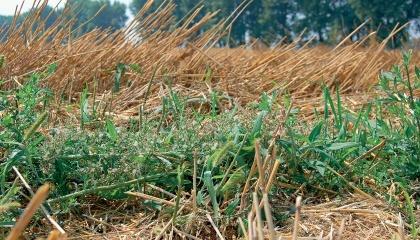 Одним з найбільш ефективних прийомів зниження деградації ґрунту є обробіток покривних культур у сівозмінах