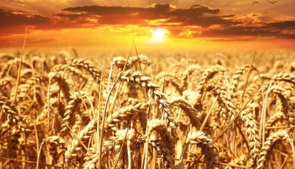 Экстремальные погодные условия и температуры, вызванные изменением климата, приведут к снижению в 2050-х годах мирового производства основных культур, среди которых пшеница, кукуруза, рис и соя, на 23%
