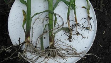 Різниця між рослинами кукурудзи при внесенні добрив POP-up методом