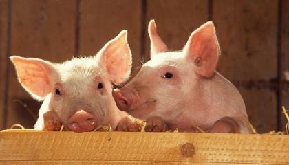 З приходом весни активізувався ринок племінних тварин та спермопродукції