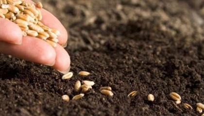 Найголовніше в передпосівній обробці грунту - прибрати ущільнення землі і вирівняти поверхню поля, якщо в цьому є необхідність