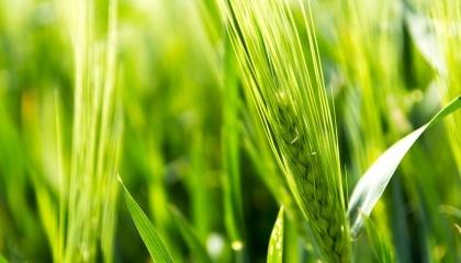 Саме в ці дні на прапорцевому та підпрапорцевому листках деяких сортів пшениці можна спостерігати сотні дрібних жовтих на просвіт плям