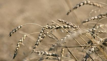 Погодные условия в Украине не позволили реализовать запланированное повышение валового сбора продовольственной пшеницы