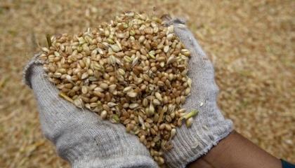 У 2017/18 сезоні Єгипет залишиться для України топовим ринком збуту пшениці