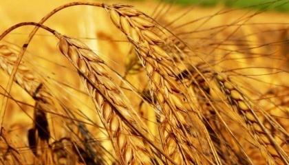 Растущее - значительно быстрее объемов потребления - предложение зерновой сформировало тренд к снижению мировых цен на такую продукцию. Результатом этого и станет сокращение мирового производства пшеницы в следующем маркетинговом году