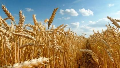Селекціонери Інституту фізіології рослин і генетики (ІФРГ) НАН України вважають, що пора переходити до створення сортів пшениці під конкретний продукт