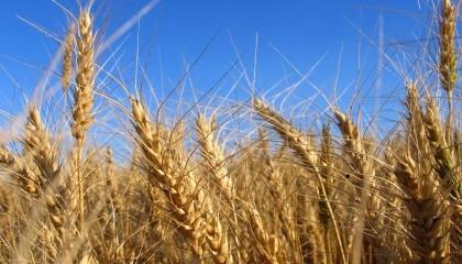 Институт физиологии растений и генетики (ИФРГ) НАН Украины является лидером селекции озимой пшеницы в Украине