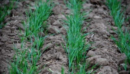 Для формирования оптимальной густоты продуктивных стеблей важно реализовать способность озимой пшеницы в кущении