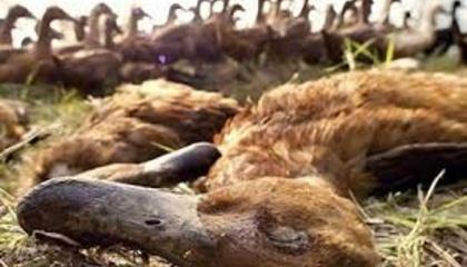 У Союзі птахівників України остерігаються, що як і в випадку з АЧС громадяни, побоюючись втратити гроші будуть замовчувати про випадки захворювання