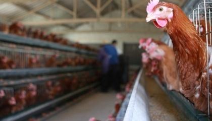 Больше всего в структуре экспортной выручки компании теряют из-за запрета отгрузок в Ирак, который покупает 27% всего экспорта украинского мяса птицы и 35% - куриных яиц